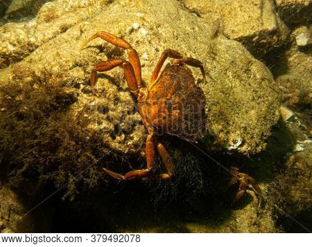 A Closeup Underwater Picture Of A Crab Taking Shelter Among Stones And Seaweed. Picture From Oresund
