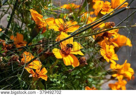 Closeup Picture Of A Bumblebee On A Yellow Flower. Picture From Scania, The Southernmost County In S