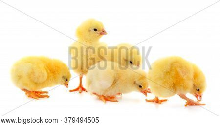 Five Yellow Chickens. Four Yellow Chickens On A White Background.