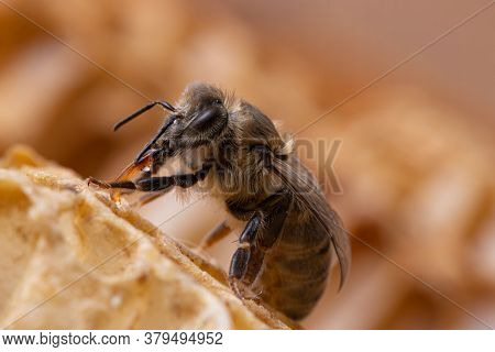 Detailed Macro Photography Of Honey Bees. The Bee Eats Nectar With Its Proboscis. On A Background Of