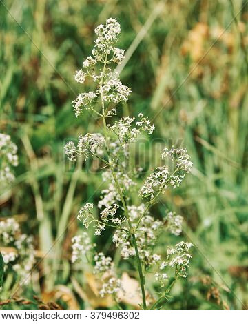 Galium Boreale, Northern Bedstraw  Is A Plant Species Of The Rubiaceae.