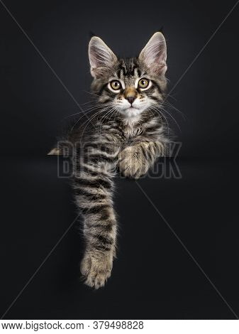 Cute Black Tabby Mackarel Maine Coon Cat Kitten,laying Down Facing Front Over Edge. Looking Towards