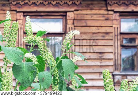 Green Fruits Of Phytolacca Americana, Also Known As The American Pokeweed, Is A Poisonous, Herbaceou