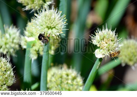 Bees Collect Nectar In The Inflorescences Of The Onion Arrow. Onions Are Blooming. Insects In The Na