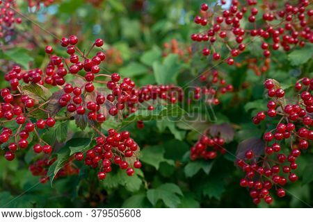 A Bunch Of Red Viburnum Berries Hanging From A Bush, Shimmering In The Sun