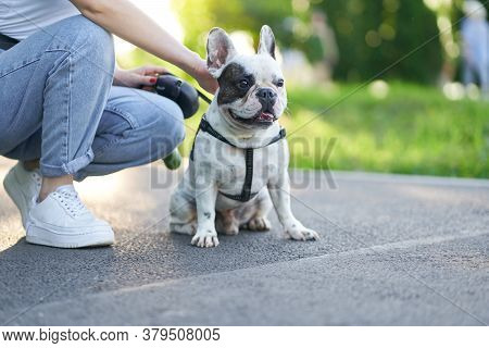 Front View Of Cute Male French Bulldog Sitting On Road And Looking Aside. Unrecognizable Female Owne