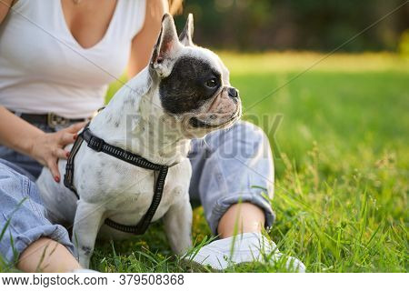 Front View Of Purebred Male French Bulldog Sitting On Grass And Looking Aside. Unrecognizable Female