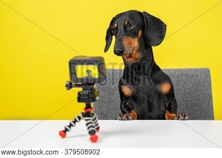 Famous Obedient Dachshund Blogger Sits At Table And Shoots Video Blog For Dogs On Action Camera On Y