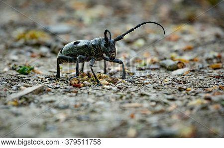 The Close-up Of The Rosalia Longicorn, Rosalia Alpina Or Alpine Longhorn Beetle