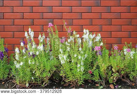 Beautiful For Get Me Not Flower In Summer Garden Against Red Brick Wall.