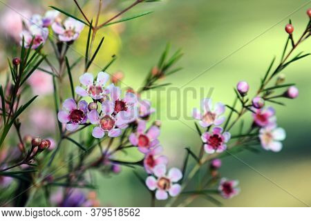 Pink Flowers Of An Australian Native Geraldton Wax Cultivar, Cwa Pink, Chamelaucium Uncinatum, Famil