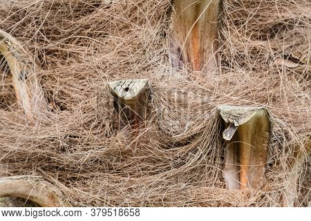 Structure Of Trunk Of Palm Tree Surface Background. Texture Of Trunk Palm Tree Closeup