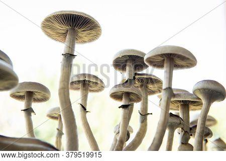 Fresh Psilocybin Shroom. Hallucinogenic Psychedelic Drug. Fungi Hallucinogen. Fresh Psilocybin Shroo