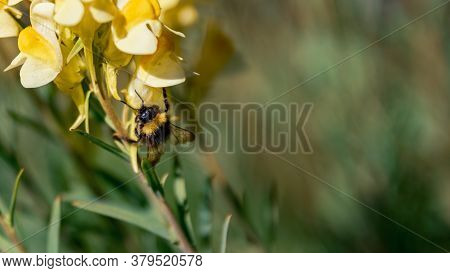 Bumblebee Jumping From One Yellow Flower To Another, Pollinating Them.