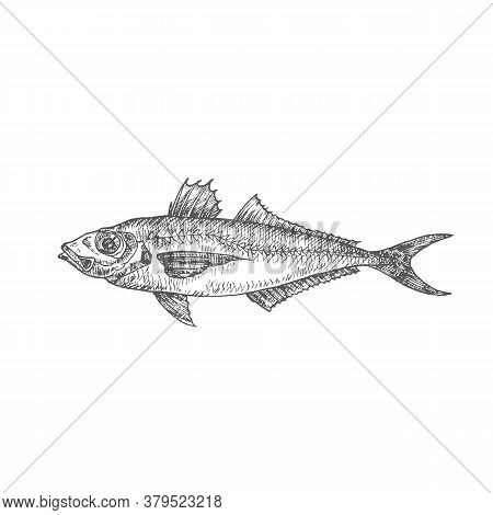 Horse Mackerel Hand Drawn Doodle Vector Illustration. Abstract Seafood Fish Sketch. Engraving Style