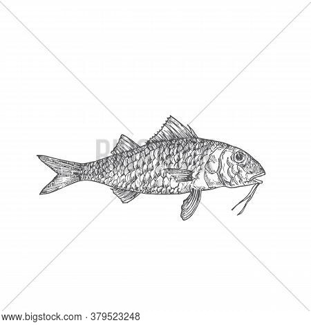 Surmullet Or Red Mullet Hand Drawn Doodle Vector Illustration. Abstract Seafood Fish Sketch. Engravi