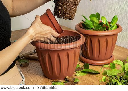Transplanting Houseplants. Home Gardening. Plant Care. A Woman Transplants Plants From An Old Pot To