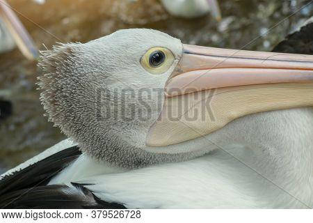 Pelecanus , Australian Pelican Head, Neck And Pelicans With Close-up Photos