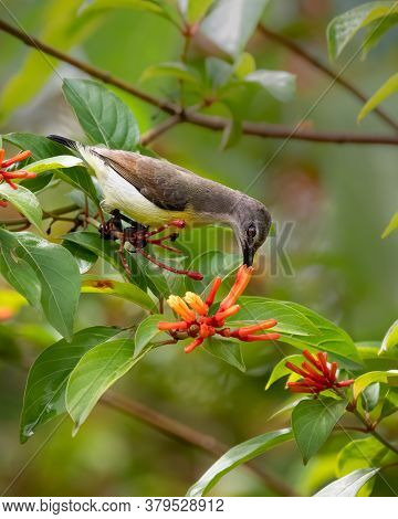 A Lovely Female Purple-rumped Sunbird (leptocoma Zeylonica), Feeding On Nectar From Some Orange Flow