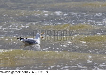 Seagull - Larus Marinus Swims In The Sea In Vlissingen, Holland And Has An Open Beak.