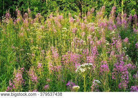 Pink Fireweed Ivan Tea In Summer. Growing In The Nature Meadow.