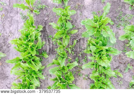 Leaf Of Beetroot. Organic Green Red Young Beat Leaves. Beetroot Plant Growing On Soil Background. Gr