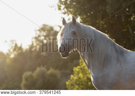 Beautiful Face Portrait Of A White Spanish Horse Stallion With Long Mane At Sunset