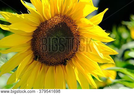 Agronomist Works In Yellow Sunflower Field. Farmers Hand Inspects A Blooming Sunflower Flower. A Sun