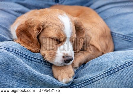 Cute light brown Spaniel puppy dog sleeping on the lap of a person wearing blue denim jeans