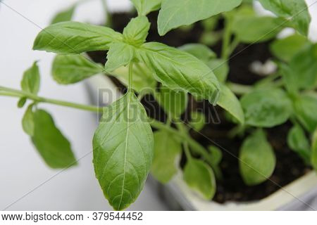 Green Fresh Basil Leaf Plant Top View. Basil Plant Isolated On White Background. Green Leafs Of Basi