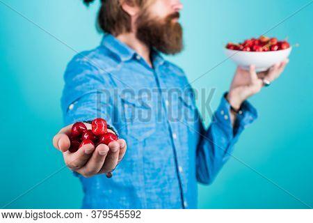 Seasonal Cherry Harvest In Industrial Orchard. Full Pot Of Cherries. Man Holding Ripe Sweet Cherries