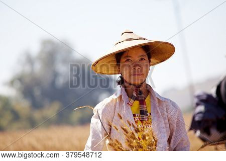 SHAN STATE, MYANMAR - FEBRUARY 04: Shan woman with traditional thanakha on her face is croping wheat harvest on February 04, 2011 in rural area, Shan state, Myanmar.