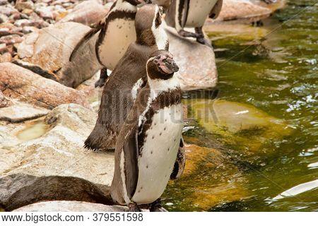 Several Humboldt Penguins, Spheniscus Humboldti, From The Genus Jackass Penguins Standing On The Wat