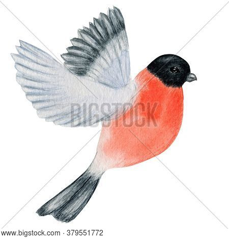 Watercolor Bullfinch Christmas Flying Bird. Hand Painted Illustration Isolated On White Background.