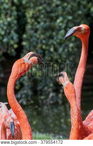 A Group Of Pink Flamingos Chattering And Discussing. The Heads With The Long Necks Stick Up Into The