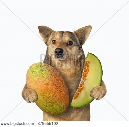 The Beige Dog In A Pink Straw Hat Cat Is Holding A Big Melon And A Slice Of Melon. White Background.
