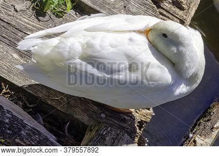 Wild White Pekin Long Island Duck - River Lee Country Park