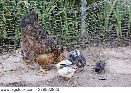 Hen With Chicks Pecking Grain In Poultry. Hen Mother. Hen With Chickens. Closeup Of Mother Chicken W