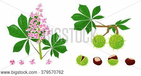 Chestnuts Collection. Leaves, Flowers, Peel And Seeds Of Chestnut. Vector Illustration On White Back