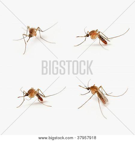 Cuatro de los mosquitos