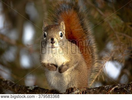 The Red Squirrel Is Famous For It's Busy Red Tail As Demonstrated In This Picture. It Was Taken In O