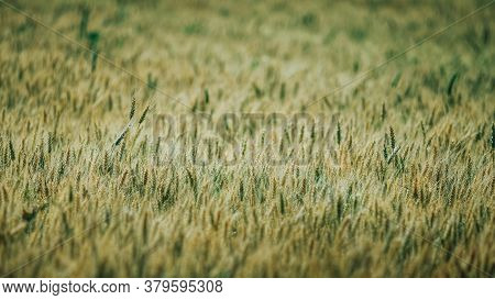 A Agricultural Field With Beautiful Wheat At Sunny Day.
