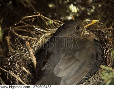 Blackbird Sitting In A Nest On Eggs, Close-up