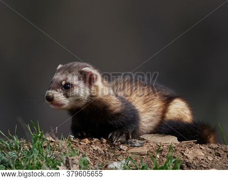 Steppe weasels or Masked polecats (Mustela eversmanii) in natural habitat, Dobrogea, Romania
