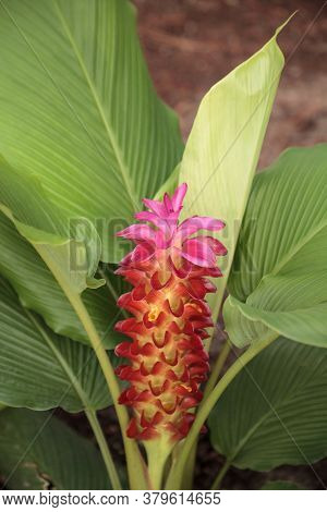 Jewel Of Burma Ginger Flower Curcuma Roscoeana Is Also Called Orange Ginger