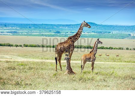 The highest terrestrial animal on the planet. Charming giraffe families with small horns and a beautiful spotted skin. Masai Mara, Kenya. The concept of active, environmental and photo tourism