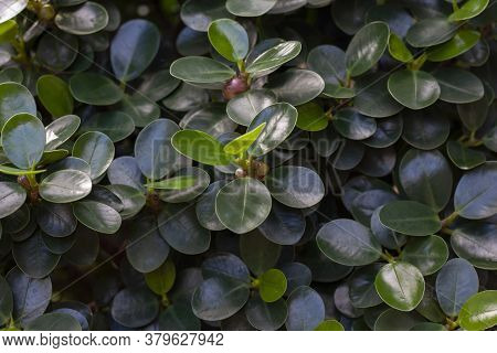 Top View Of Ficus Annulata Blume With Seed In The Garden For Background.