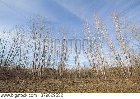 Forest Of Birch Trees Standing In The Suboticka Pescara, A Sandland In Subotica, Norther Serbia. Bir