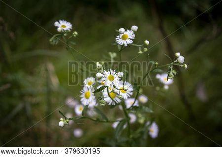 Macro Close Up On A Common Daisy, Also Called Bellis Perennis, Blooming With A Bokeh Green Backgroun