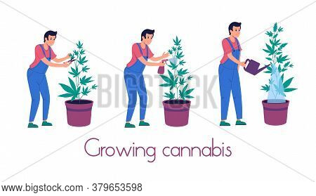 Legalization Of Marijuana For Medical And Recreational Purposes.growing Cannabis Indoor:watering, Pr